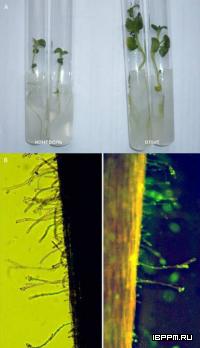 Влияние инокуляции бактериями A. brasilense Sp245 на растения-регенеранты при микроклональном размножении картофеля (A); Заселение корневых волосков пшеницы по впервые установленному механизму распространения бактерий посредством образования микроколоний (B)