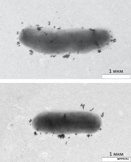 Иммуноэлектронная микроскопия клеток Gri+ мутанта A. brasilense SK048 с использованием родоспецифичных Ат на поверхностные белковые детерминанты, меченных сферическими наночастицами золота (диаметр 15 нм)
