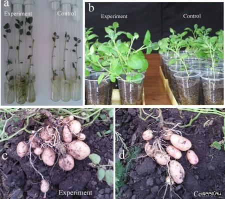 Ассоциация рост-стимулирующих ризобактерий Azospirillum с растениями, созданная in vitro (a), существенно улучшает технологию микроклонального размножения (a, b) и повышает урожай картофеля (c, d)