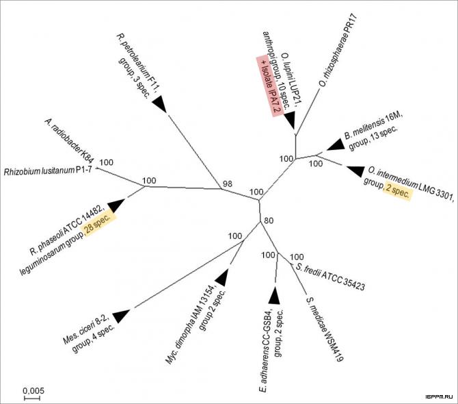 Филограмма последовательностей 16S рРНК штаммов, близкородственных изоляту O. lupini IPA7.2