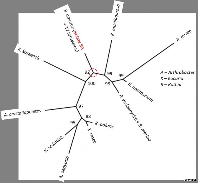 Филограмма последовательностей 16S рРНК штаммов, близкородственных изоляту R. amarae SG из суспензионной культуры арабидопсиса
