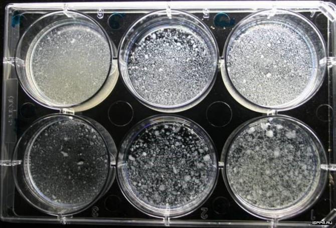 Агрегация клеток суспензионной культуры A. thaliana под воздействием пектиновых олигосахаридов