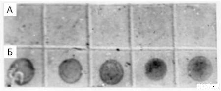 Дот-анализ коньюгатом фаллоидина с КЗ (диаметр 10 нм) актиноподобного белка в препаратах клеток A. brasilense Sp245 для его мономерной (А) и микрофиламентной (Б) формы
