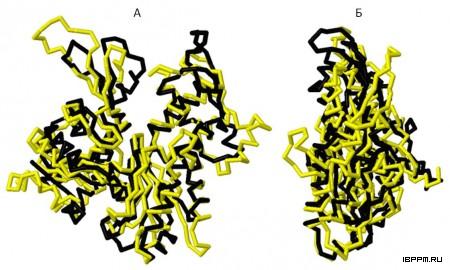 Сравнение каркасов MreB (черное) и G-актина (желтое) в двух проекциях (А, Б) по результатам выравнивания их 3D структур