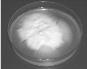 Lecanicillium aphanocladii