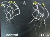 Проростки люцерны, инокулированные штаммом LCu2.